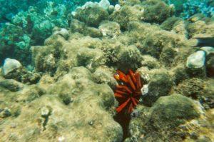 sea urchin in Honolua Bay Marine Reserve