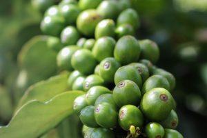 coffee beans grown on Maui